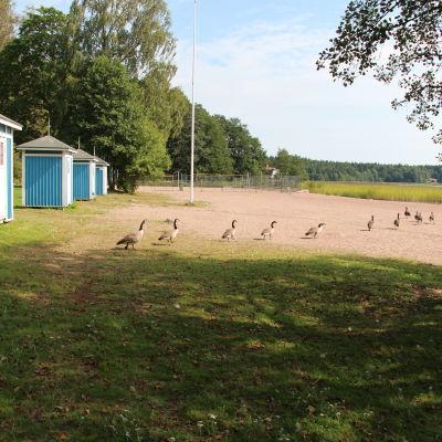 Kanadagäss går på Plagen (badstranden i Lovisa).