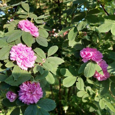 Vaaleanpunaiset kerrotut ruusut kukkivat kauniisti.