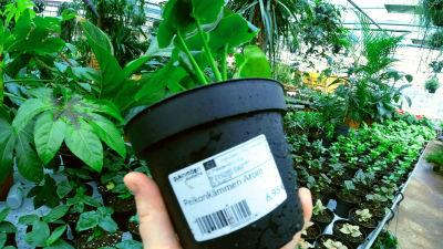 en hand som håller i en krukväxt. På krukan finns fastklistrat ett växtpass, växtens dokumentation om dess ursprung. I bakgrunden växthusmiljö.