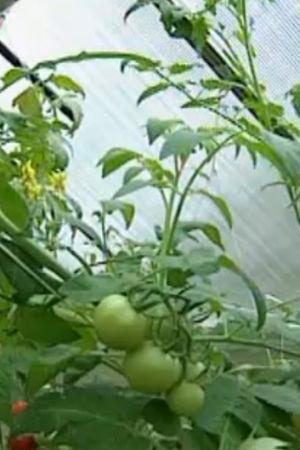 växthus, 1999