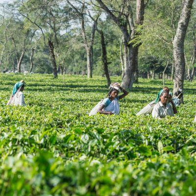 Indiska kvinnor i delstaten Assam plockar teblad.