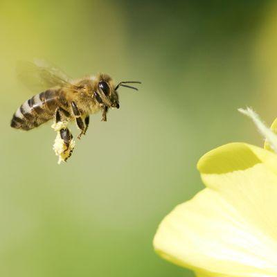 Blomma och bi