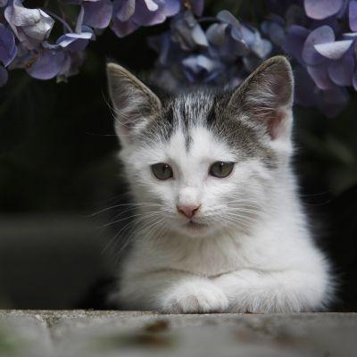 En europé-kattunge ligger på en sten under lila blommor.