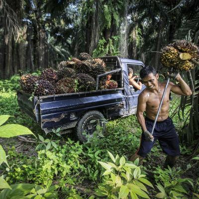 Fruktställningar från oljepalmer samlas in i Indonesien.