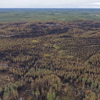 Palanutta metsää.