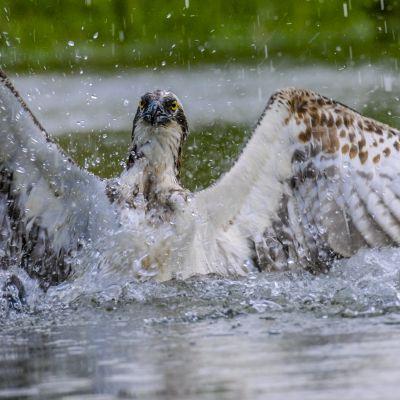 Sääksi porskuttaa siivillään vedessä vettä korkealle