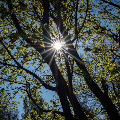Aurinko siivilöityy tammen oksien välistä.
