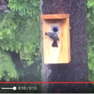 Vad håller talgoxen på med, undrar William från St Karins? Ser den att ekorren hotar boet kanske.