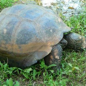 Galapagossköldpaddan är unik för öriket