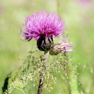 Huopaohdakkeen violetti kukka.