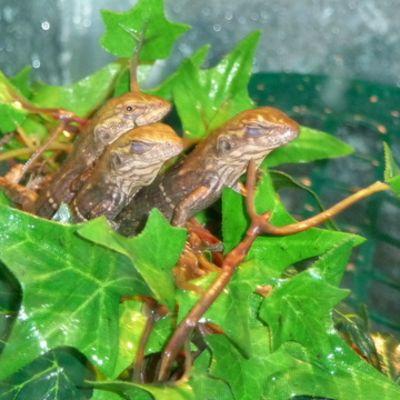 Hondurasilainen piikkihäntäiguanin poikasia
