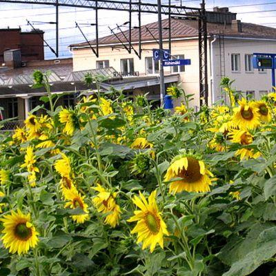 Auringonkukkia rautatieasemalla