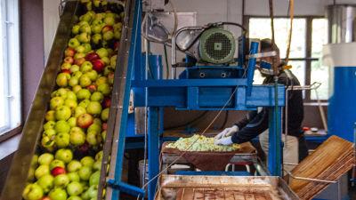 Äpplen transporteras upp längs ett band och krossas i en kvarn