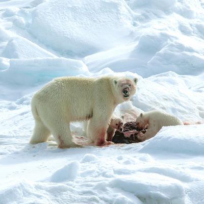 jääkarhut syövät saaliiksi saamaansa hyljettä