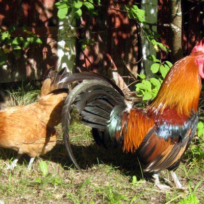 Kana ja kukko.