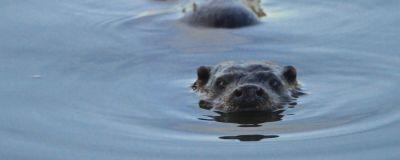 En simmande utter tittar in i kameran.