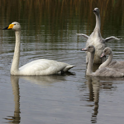 Laulujoutsen poikasineen vedessä