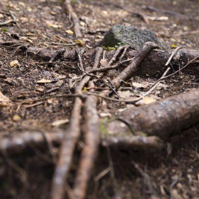 Metsäpolkua halkovat juuret, jotka ovat kietoutuneet isomman juurakon ympärille.