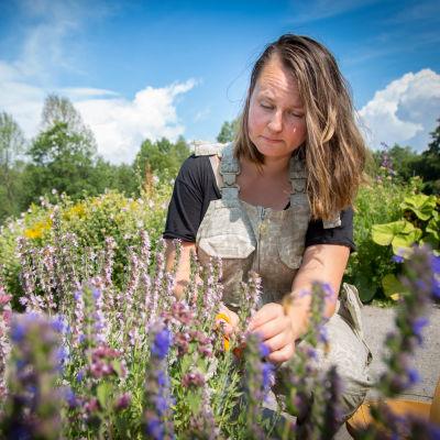 Elina Savola korjaa satoa Annalan puutarhassa.