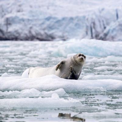 Partahylje makaa jäätiköllä.