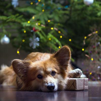 Corgi ligger med tassen på en julklapp framför en julgran.