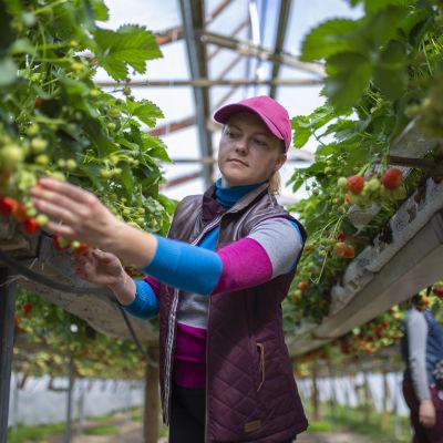 Kuvassa nainen poimii mansikoita.