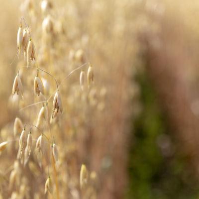 Luomukauraa pellossa