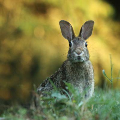 En hare tittar in i kameran framför en gul bakgrund.