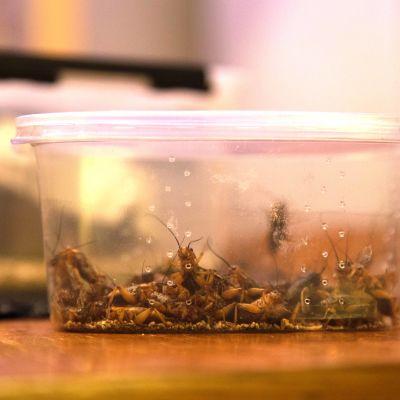 Heinäsirkka on yksi tutuimmista elintarvikkeena käytettävistä hyönteisistä.