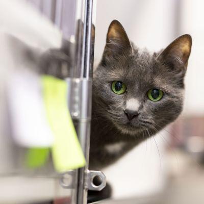 Kissa Viikin löytöeläintalossa
