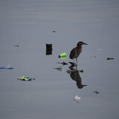 Muuttolinto lepää Manilanlahdella Filippiineillä meressä kelluvien roskien päällä.