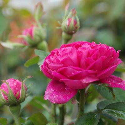 Röda rosor med dagg på bladen.