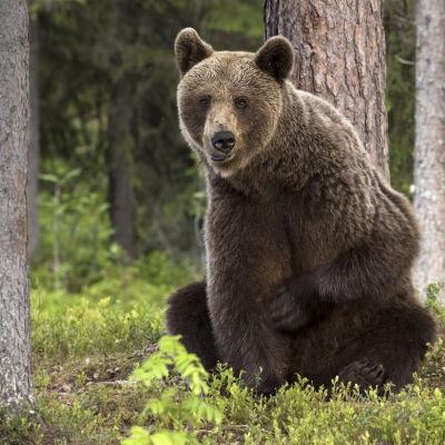 Mietteliäs karhu-uros