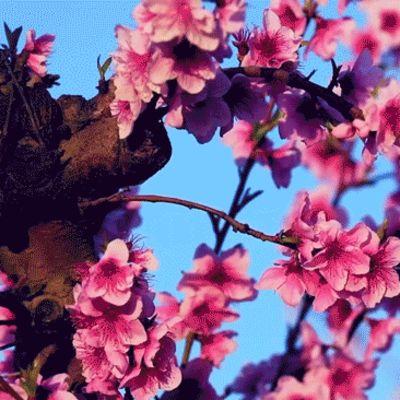persikkapuut kukkivat espanjassa