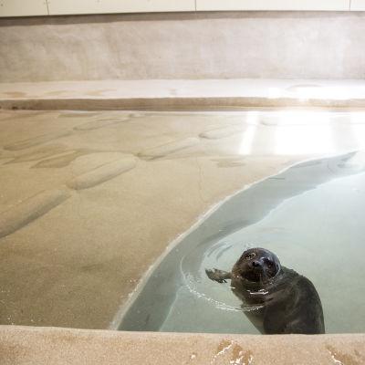 Saimaannorppa ui eläintarhan altaassa.