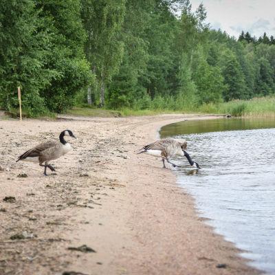 Kanadanhanhet ovat ulostaneet rantaan