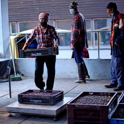 Marjanpoimijat kantavat juuri poimittua mustikkaa laatikoissa punnitukseen.