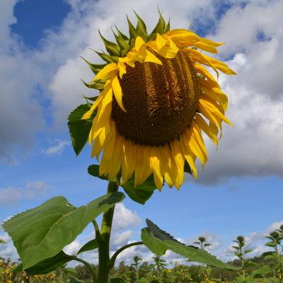 en stor solros