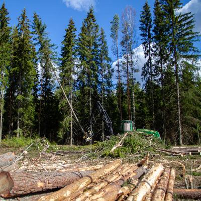 Hakkuukone kaataa ja pilkkoo puita.