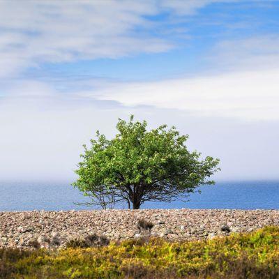 Puu rannalla Saaristomerellä.