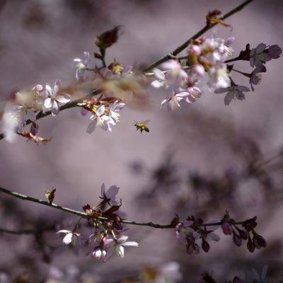 Mehiläinen lentää kirsikankukkaan.