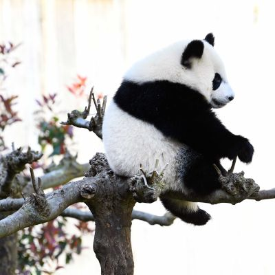 Panda aistuu puun oksalla.