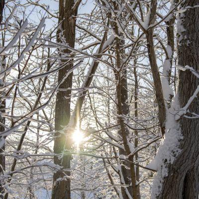 En vinterskog med solens strålar som letar sej genom grenverket.
