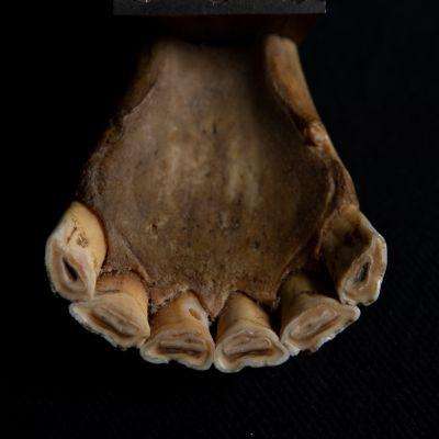Suomenhevosen hampaat.