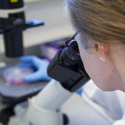 Närbild av kvinna som tittar i ett mikroskop. Kvinnan på bilden är laboratoriemästare Eila Korhonen.