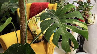 En grönväxt i ett vardagsrum, i bakgrunden syns flera växter och en gul fåtölj.