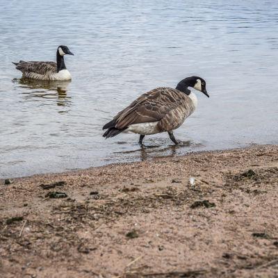 Kanadanhanhet ovat ulsotaneet Sammonalhden uimarannalle Lappeenrannassa