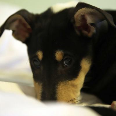 Koiranpentu painaa kuonoa vasten peittoa.