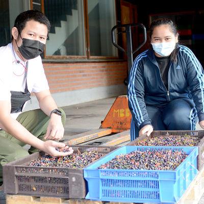 Kaksi thaimaalaista marjanpoimijaa istuu mustikkalaatikoiden luona.
