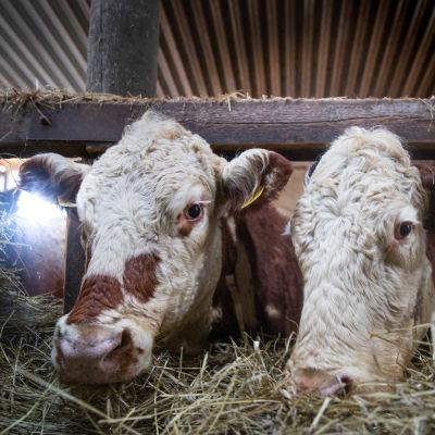 Heikki Peltolan omistamia lehmiä.